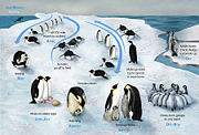 PENGUIN LIFECYCLE H