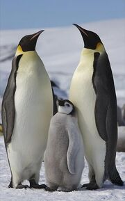 Parent and baby penguins