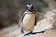 File:Magellanic penguin, Valdes Peninsula, e.jpg