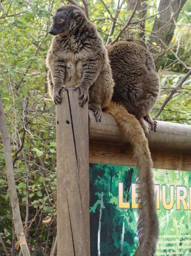White-fronted lemur (female)