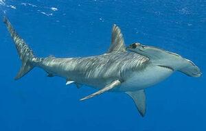 Smooth-hammerhead-shark