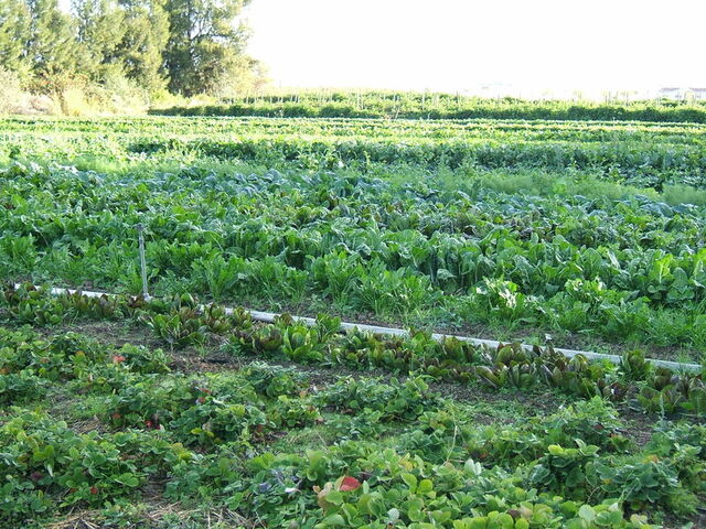 File:800px-Organic-vegetable-cultivation.jpeg