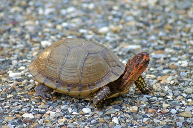 File:Box turtle.jpg