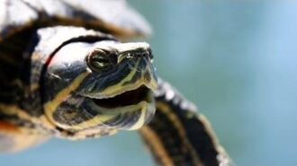 What's a Red-Eared Slider? Pet Turtles-0