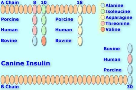 File:Canineinsulin.jpg