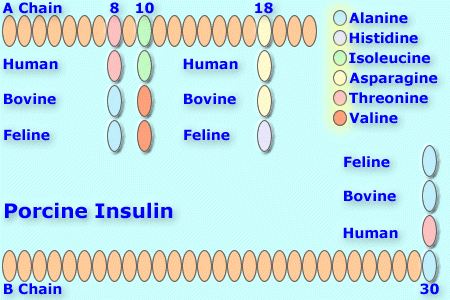 File:Porcineinsulin8.png