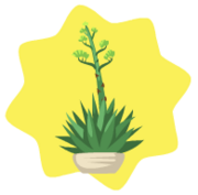 Blooming agave