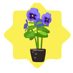 Homegrown Blue Pansy