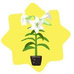 File:Homegrown White Lily.jpg