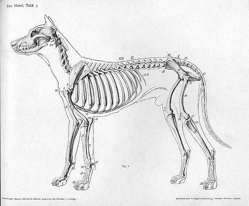 File:512px-Dog anatomy lateral skeleton view.jpg