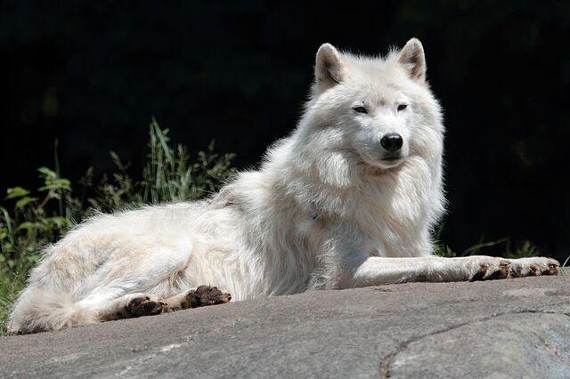File:800px-Canis lupus arctos PO.jpg