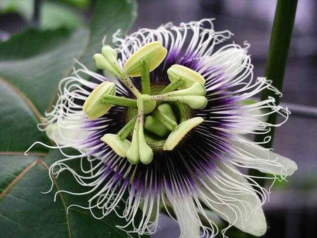 File:Passiflora edulis forma flavicarpa.jpg