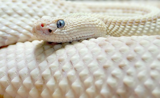File:White-serpent-81262-530-324.jpg