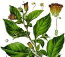 Belladonna顛茄葉