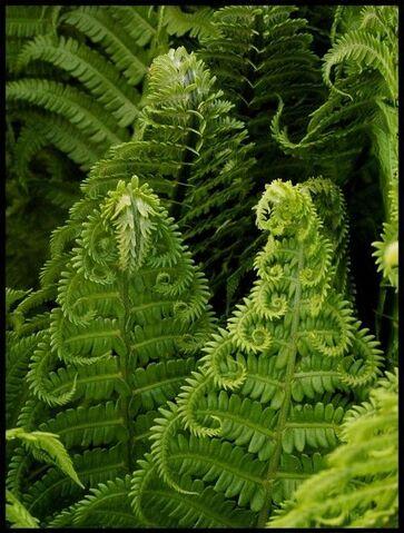 File:Ferns.jpg