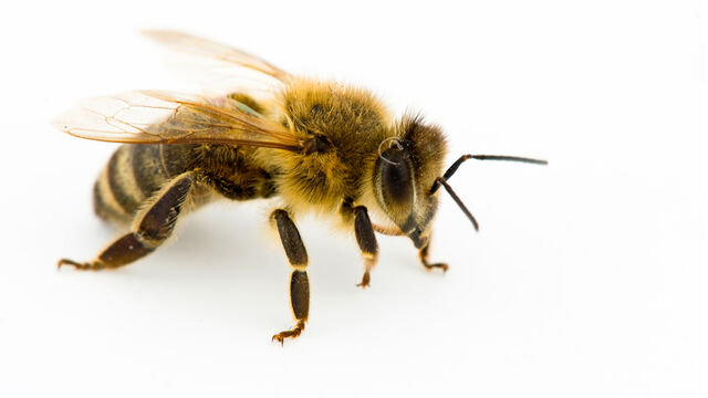 File:Honey Bee.jpg