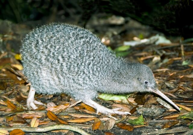 File:Little Spotted Kiwi.jpg