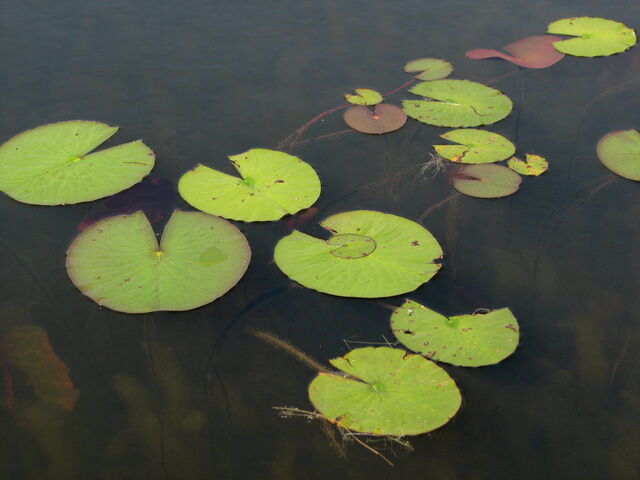 File:Lily pad stock 2 by moonchilde stock-d3g50nk.jpg