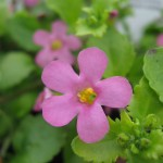 Bacopa-Pink
