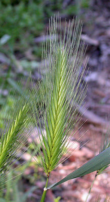 File:Young Foxtail.jpg
