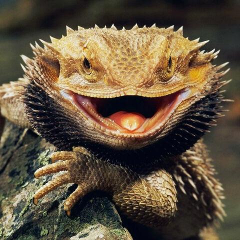File:Bearded Dragon.jpg
