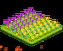 Tulip Field 3