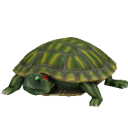 Red Eared Slider Turtle.png