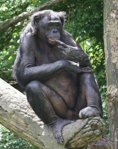 File:Bonobo 0155.jpg