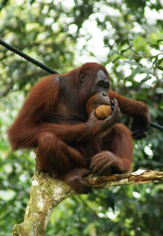 File:Orang Utan, Semenggok Forest Reserve, Sarawak, Borneo, Malaysia.jpg