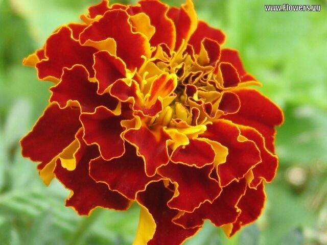 File:Real marigold.jpg
