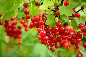 File:Currant.png