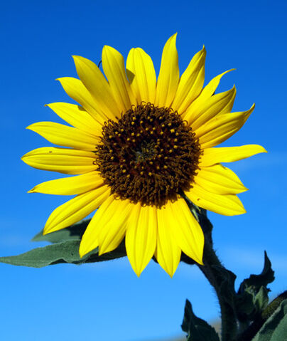 File:Wildsunflower.jpg