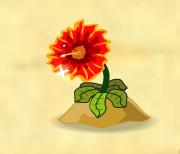 Spiderflower