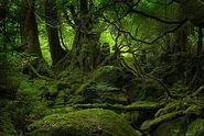 Yakushima forest day1 sm