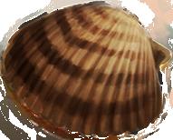 File:Sea-shell-lrg.png