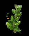 Peppermint-lrg.png