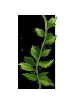 Peppermint-lrg