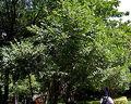 260px-Diospyros chloroxylon in Hyderabad, AP W IMG 7805.jpg