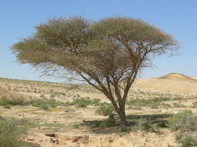 File:Acacia.jpg