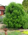 Bay-laurel-tree.jpg