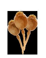 Poppy-heads-lrg