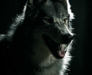 Werewolf VD