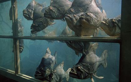 File:Dante-piranha 420.jpg