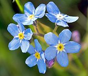 File:Forget-Me-Not.jpg