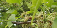 Male Ginkgo