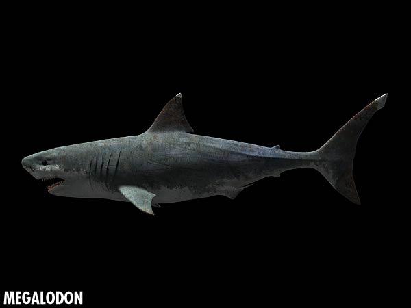 File:Megalodon closeup.jpg