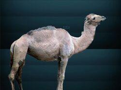Camelops