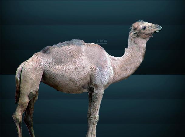File:Camelops.jpg