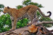 Leopard on a horizontal tree trunk