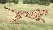 Az cheetah
